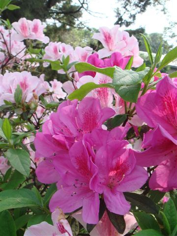 台大杜鵑花