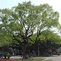 行政大樓前的大樹,我很喜歡