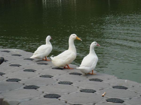 鴨子變多了