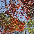 楓葉還沒有全紅,配著綠綠的葉子,也很好看呢!