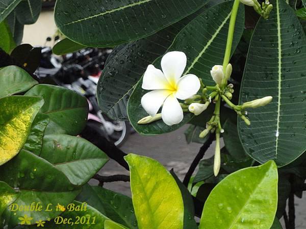 峇里島國花