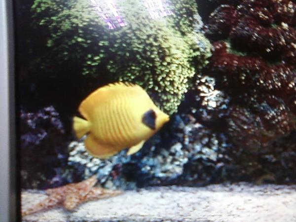 有趣的小黃熱帶魚