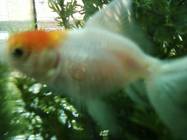 傘傘百金魚