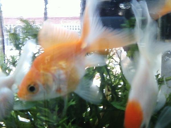 電電金黃魚