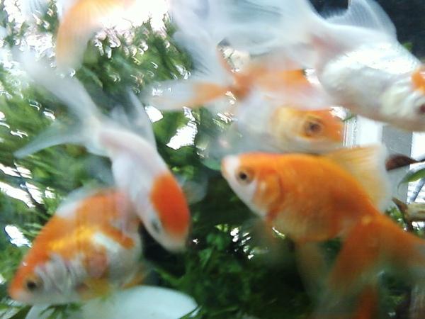 古錐小金白魚