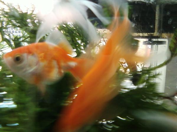 秘密基地金魚
