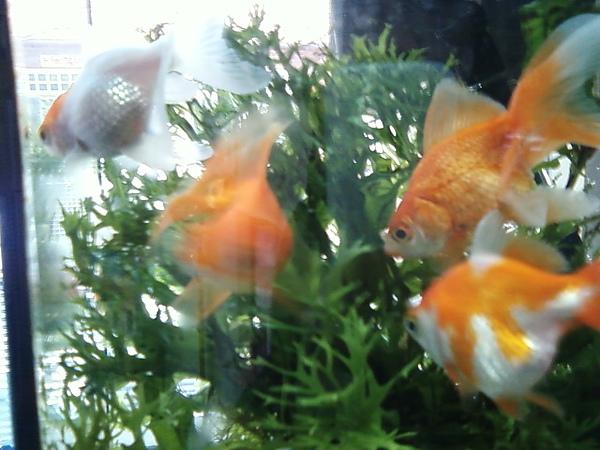 巧可巧思金魚