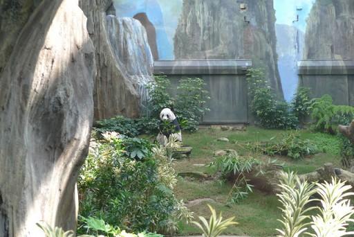 貓熊吃竹子.jpg