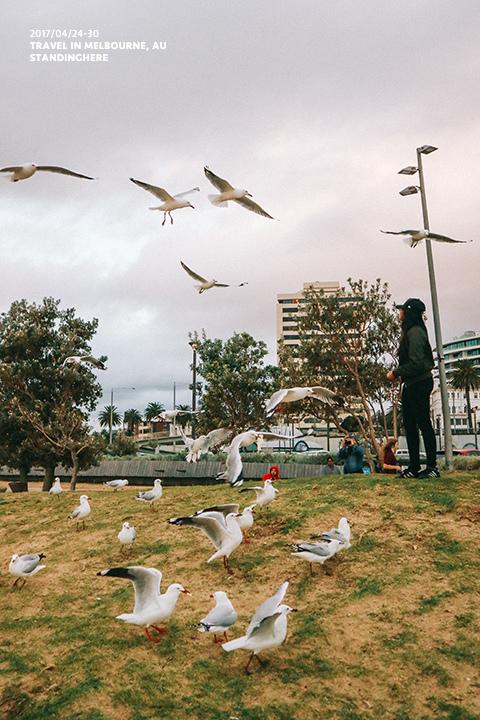 澳洲墨爾本_st.kilda企鵝_8188