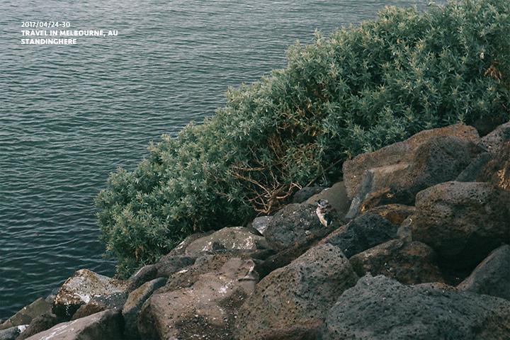 澳洲墨爾本_st.kilda企鵝_8200