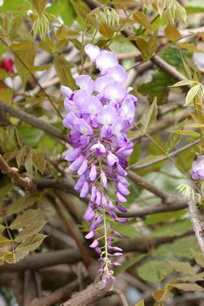 紫藤.bmp