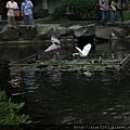 夜鷺與白鷺鷥飛翔於水面上...雙雙玩的不亦樂乎