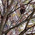 20201218 竟然在社區步道旁的樹梢上發現一個鳥巢,這是好開心的事,難怪昨天兩隻綠繡眼老往這飛,但怎麼都拍不著牠們,當時也沒發現有鳥巢,'今日拉近一看原來有個鳥巢,這肯定就是昨日那兩隻綠繡眼的育雛之巣了。明天開始天天得關注這件事了。
