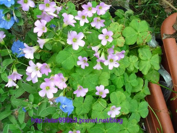 紫花酢醬草-1
