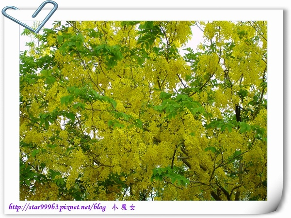 黃金雨-2