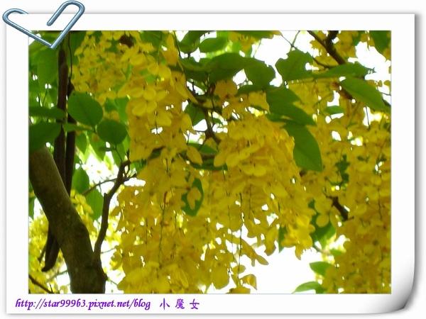 黃金雨-5