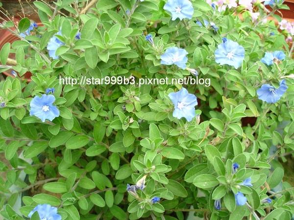 藍星花-1