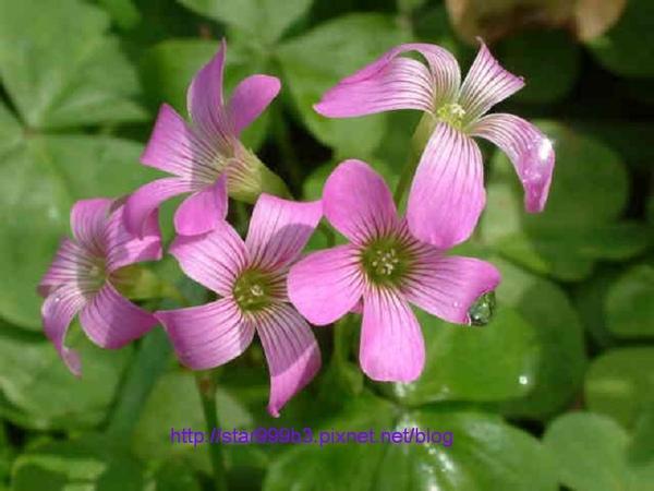 紫花酢醬草-2.jpg