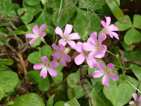 紫花酢醬2-2.jpg