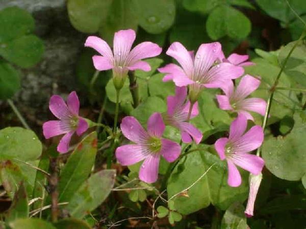 紫花酢醬-2.jpg