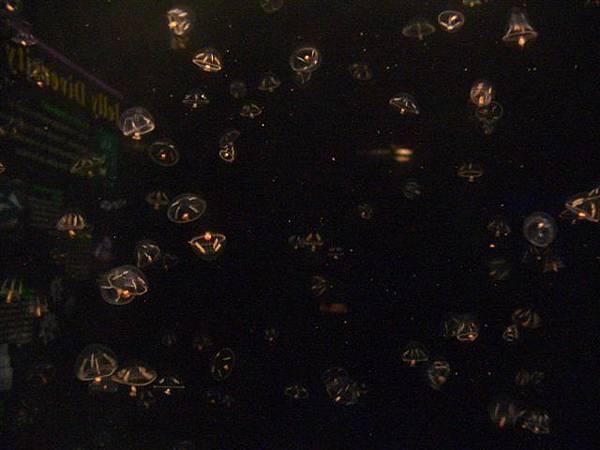 新英格蘭水族館-水母