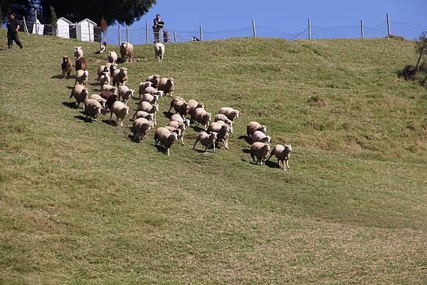 離開民宿後,去看了趕羊秀  人好多喔~