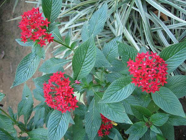 很喜歡這種花是紅色的