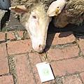 他們很餓...這是我餵羊的方式