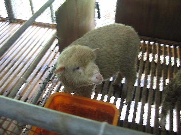 羊舍裡最小的一隻羊咩咩(可愛)
