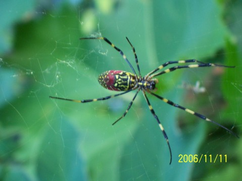 日本的蜘蛛