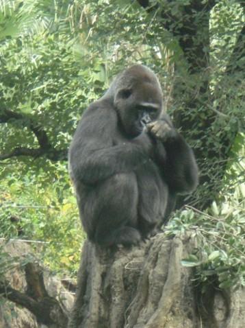 金剛猩猩1