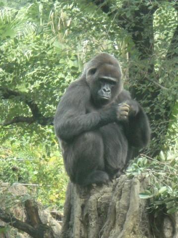 金剛猩猩2