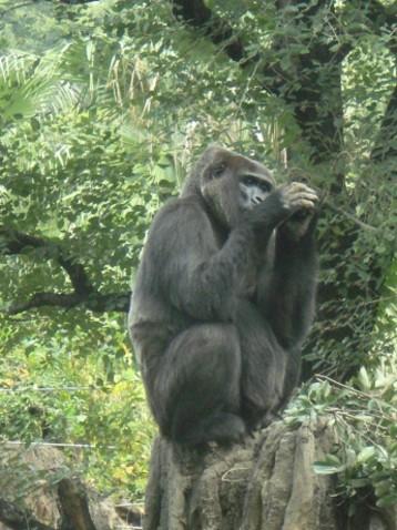 金剛猩猩3