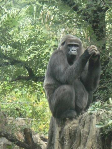 金剛猩猩4