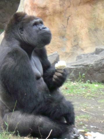 金剛猩猩5