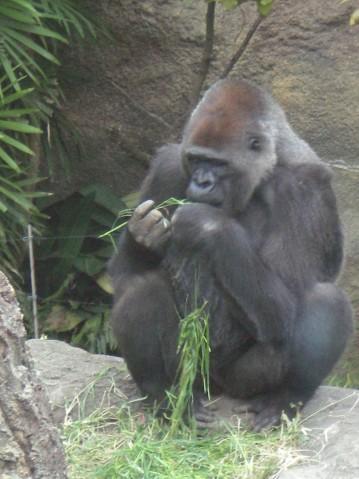 金剛猩猩6