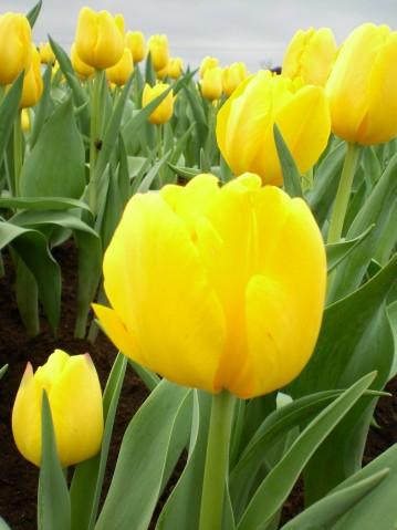 黃色鬱金香