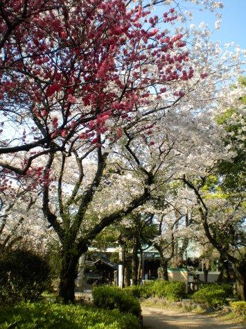 隅田公園之櫻5