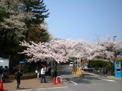 櫻並木入口