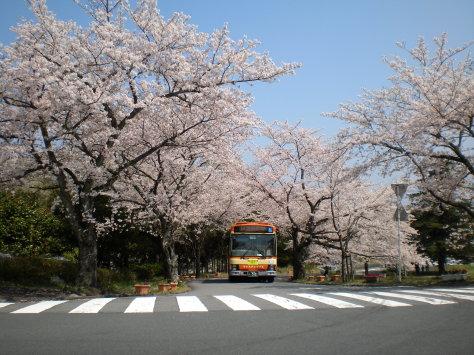 櫻並木之四