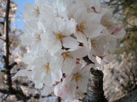 櫻並木之六