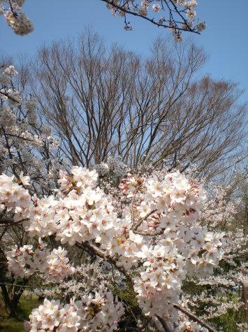 櫻並木之七