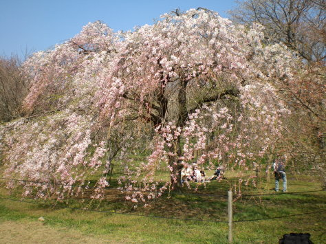 櫻花之里1