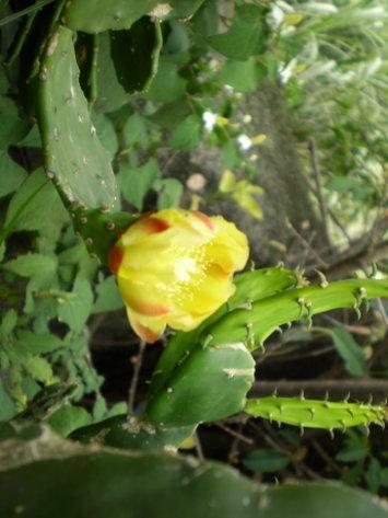 仙人掌花2