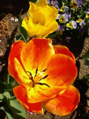 橘黃鬱金香