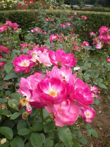 桃紅色玫瑰