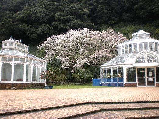 櫻花與涼亭.jpg