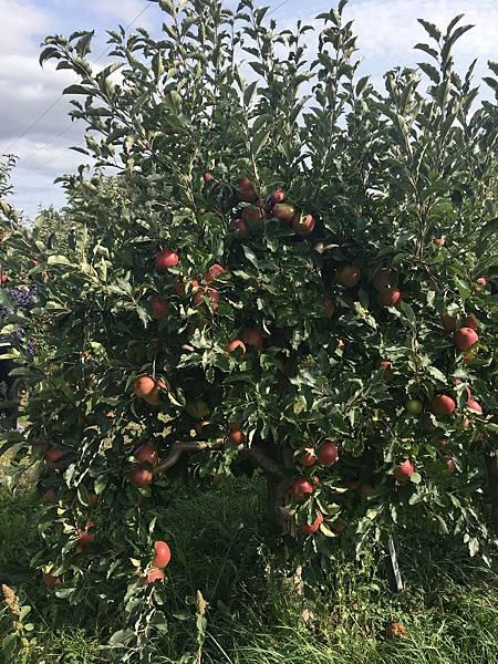 果實纍纍的蘋果樹.JPG