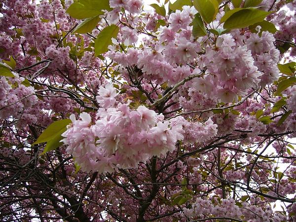 支笏湖畔-櫻花樹