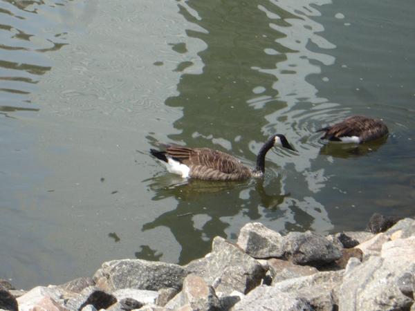 New Port的水鴨們